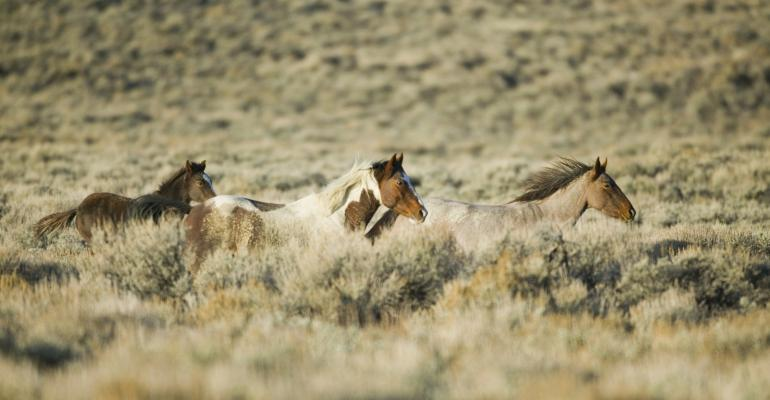 wild horses running in sage